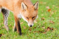 φύλλα αλεπούδων πτώσης φθ Στοκ Φωτογραφίες