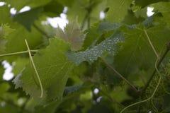 Φύλλα αμπέλων με τη δροσιά στοκ φωτογραφία με δικαίωμα ελεύθερης χρήσης