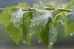 Φύλλα αμπέλων Στοκ Εικόνες