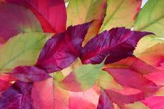 φύλλα ανασκόπησης φθινοπώρου Στοκ Εικόνα