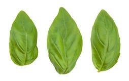 Φύλλα βασιλικού Στοκ Φωτογραφία