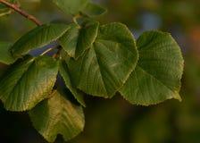 Φύλλα δέντρων με το μουτζουρωμένο υπόβαθρο στοκ φωτογραφία