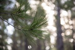 Φύλλα δέντρων πεύκων στοκ φωτογραφία με δικαίωμα ελεύθερης χρήσης