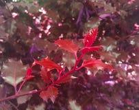 Φύλλα δέντρων της Holly Η ομορφιά στη φύση στοκ εικόνες