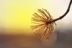 Φύλλα δέντρων του FIR σε ένα υπόβαθρο ηλιοβασιλέματος στοκ εικόνες με δικαίωμα ελεύθερης χρήσης