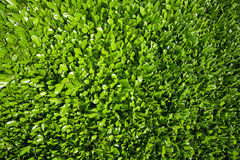 φύλλα δαφνών Στοκ Εικόνες
