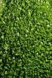 φύλλα δαφνών Στοκ Φωτογραφία