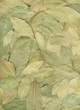 φύλλα δαφνών στοκ εικόνες με δικαίωμα ελεύθερης χρήσης