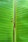 φύλλα δροσιάς μπανανών Στοκ Εικόνες