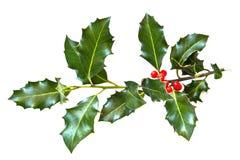 φύλλα ελαιόπρινου μούρων Στοκ Εικόνες