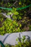 φύλλα εντόμων ανασκόπησης ladybug φυσικά Στοκ Φωτογραφία