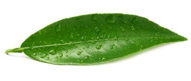 Φύλλα εσπεριδοειδών που απομονώνονται σε ένα άσπρο υπόβαθρο στοκ εικόνα με δικαίωμα ελεύθερης χρήσης