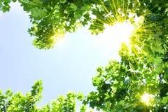 φύλλα ηλιόλουστα Στοκ Εικόνες