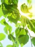 φύλλα ηλιόλουστα Στοκ φωτογραφίες με δικαίωμα ελεύθερης χρήσης