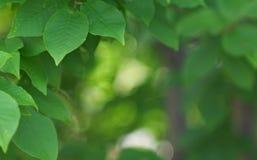 φύλλα θάμνων ανασκόπησης στοκ φωτογραφίες με δικαίωμα ελεύθερης χρήσης
