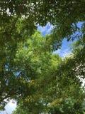 Φύλλα θερινών δέντρων Στοκ Εικόνες