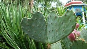Φύλλα κάκτων με μορφή μιας καρδιάς απόθεμα βίντεο