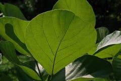 Φύλλα κάτω από το φως του ήλιου Στοκ Φωτογραφίες