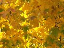 φύλλα κίτρινα Στοκ Φωτογραφία