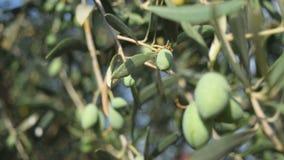 Φύλλα και βλαστοί ελιών απόθεμα βίντεο