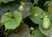 Φύλλα και λουλούδια λυκίσκων Στοκ εικόνες με δικαίωμα ελεύθερης χρήσης