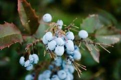 Φύλλα και μούρα του σερνμένος Όρεγκον-σταφυλιού, Mahonia repens μπλε μούρων Θάμνοι με τα μπλε μούρα Πράσινος θάμνος με τα μπλε μο στοκ εικόνες