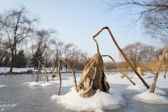 Φύλλα και πάγος μερικά Lotus το χειμώνα Στοκ Εικόνες