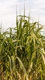 Φύλλα καλάμων Στοκ εικόνες με δικαίωμα ελεύθερης χρήσης