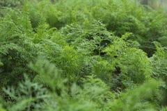 Φύλλα καρότων στους τομείς στοκ εικόνα με δικαίωμα ελεύθερης χρήσης