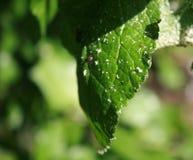 Φύλλα κερασιών που επηρεάζονται από τα aphids Παράσιτα εντόμων στις εγκαταστάσεις Στοκ Εικόνα