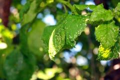 Φύλλα κερασιών που επηρεάζονται από τα aphids Παράσιτα εντόμων στις εγκαταστάσεις Στοκ Εικόνες