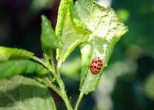 Φύλλα κερασιών που επηρεάζονται από τα aphids Παράσιτα εντόμων στις εγκαταστάσεις αφίδιο που τρώει ladybug Στοκ Εικόνες