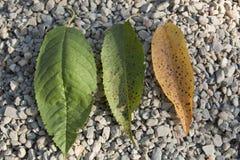 Φύλλα κερασιών Στοκ Εικόνες