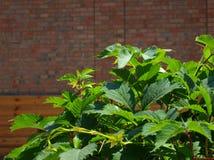 φύλλα κισσών κινηματογρα& Στοκ φωτογραφία με δικαίωμα ελεύθερης χρήσης