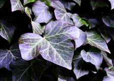 Φύλλα κισσών με τα φυσικά πορφυρά χρώματα