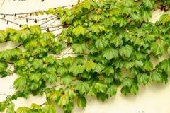 Φύλλα κισσών στους τοίχους του σπιτιού στοκ εικόνες