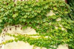 Φύλλα κισσών στους τοίχους του σπιτιού στοκ εικόνες με δικαίωμα ελεύθερης χρήσης