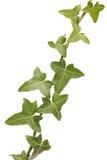 Φύλλα κισσών Στοκ Εικόνες