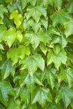 Φύλλα κισσών Στοκ φωτογραφίες με δικαίωμα ελεύθερης χρήσης