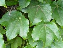 φύλλα κισσών Στοκ φωτογραφία με δικαίωμα ελεύθερης χρήσης