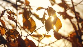 Φύλλα κλάδων δέντρων φθινοπώρου στον ήλιο Θολωμένο πτώση υπόβαθρο η δασική έννοια ήλιων τρόπου ζωής ηλιοβασιλέματος φθινοπώρου απόθεμα βίντεο
