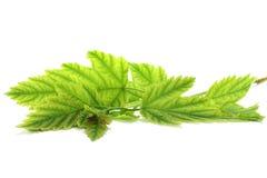 φύλλα κλάδων Στοκ Εικόνα