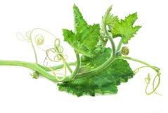 Φύλλα κολοκύθας που απομονώνονται στο λευκό στοκ εικόνα με δικαίωμα ελεύθερης χρήσης