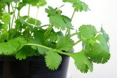 φύλλα κορίανδρου στοκ φωτογραφία με δικαίωμα ελεύθερης χρήσης