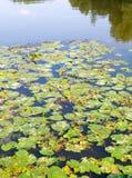 Φύλλα κρίνων νερού στη δασική λίμνη Υπόβαθρο, φύση Στοκ εικόνες με δικαίωμα ελεύθερης χρήσης