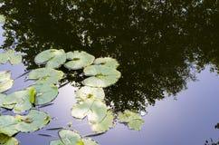 Φύλλα κρίνων νερού στοκ φωτογραφία με δικαίωμα ελεύθερης χρήσης