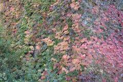 Φύλλα κόκκινου κρασιού που αναρριχούνται επάνω σε έναν πύργο εκκλησιών στοκ εικόνα με δικαίωμα ελεύθερης χρήσης