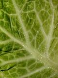 Φύλλα λάχανων που καλύπτονται με τις πτώσεις στοκ εικόνα