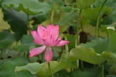 Φύλλα λωτού λιμνών και λουλούδια λωτού στοκ φωτογραφία με δικαίωμα ελεύθερης χρήσης