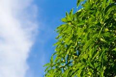 Φύλλα μάγκο Στοκ Εικόνες